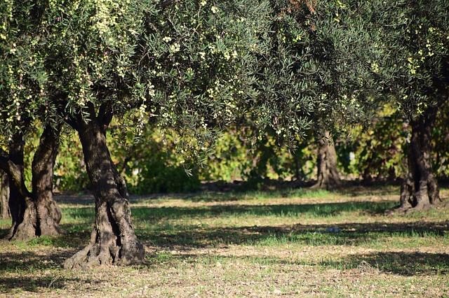 Ελιά το ιερό δένδρο